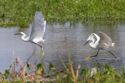 Egrets on the Run