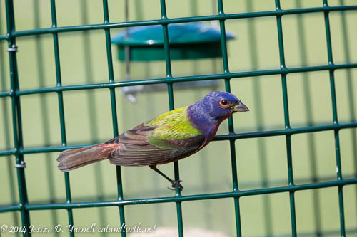 Male Painted Bunting on Feeder