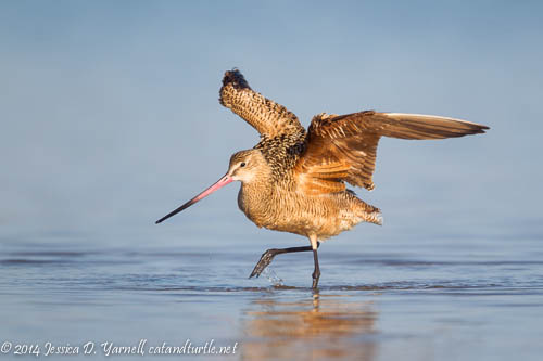Marbled Godwit with Wings Spread