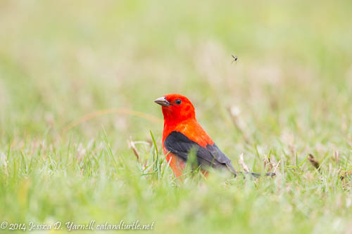 Scarlet Tanager Spots a Mosquito
