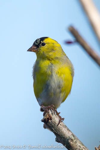 American Goldfinches in my Backyard - Turning Yellow