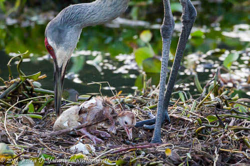 Sandhill Crane hatch: Welcome, Baby Sandhill Crane!