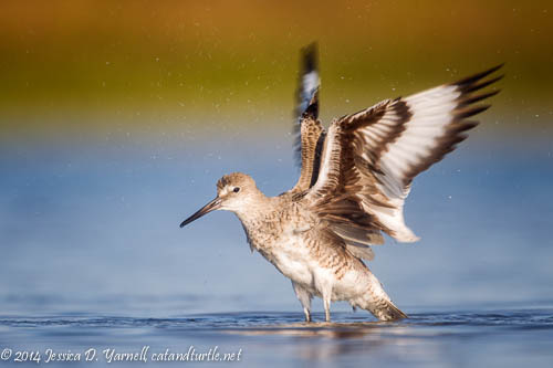 Willet Wing Flap