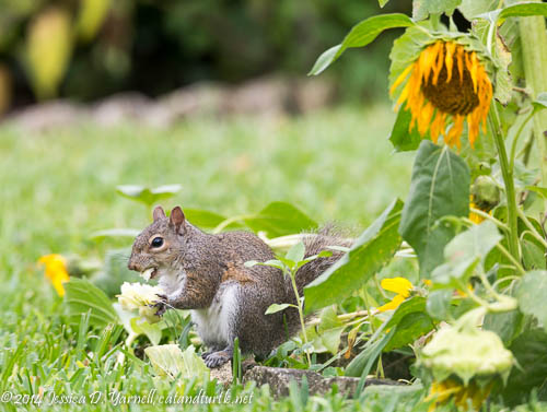 Squirrel with his Sunflower