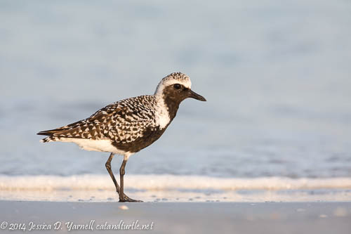 First Light on a Black-bellied Plover