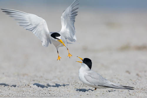 Incoming!  Least Tern Bringing in A Fish For His Mate