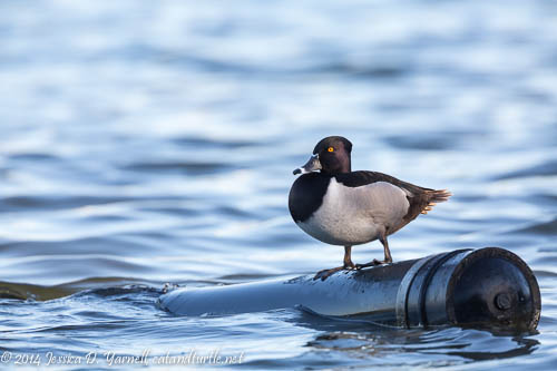 Lone Ring-Necked Duck