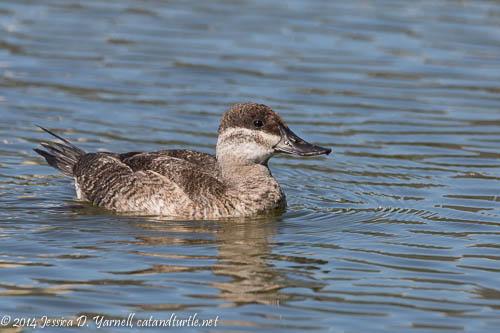 Late Ruddy Duck