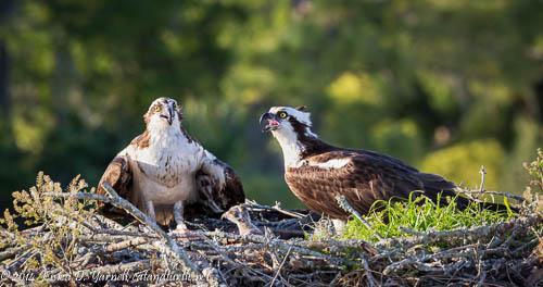 Osprey Family - Winter Park Osprey Nest