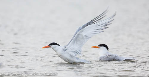Royal Tern Pair Bathing