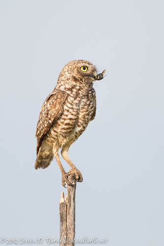 Breakfast Time!  Burrowing Owl with Bug
