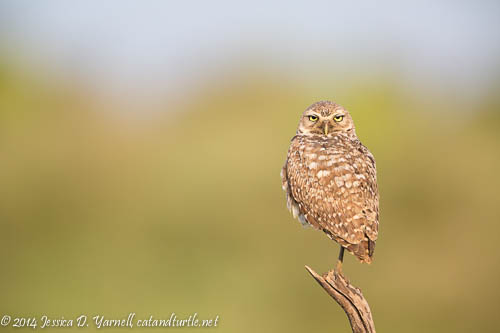 Burrowing Owl on Watch
