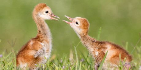 Playtime! (Sandhill Crane Colts)