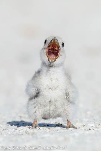 Big Yawn!  Week-old Black Skimmer Chick at Indian Rocks