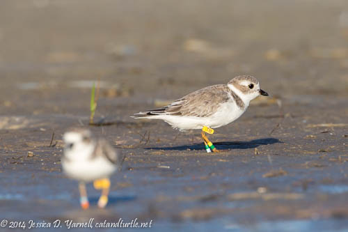 Banded Piping Plover T30