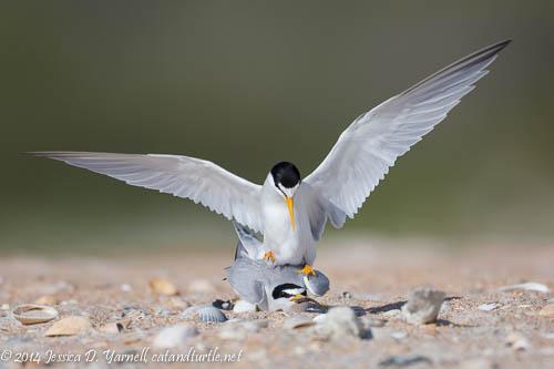 Least Terns in Love