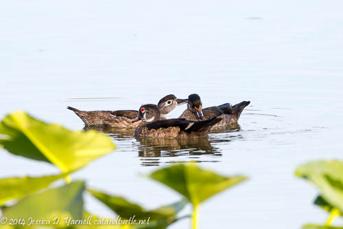 Mama Wood Duck Preening Her Young