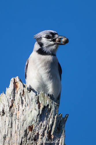 Big Mouth Blue Jay