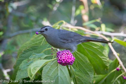 Gray Catbird on American Beautyberry