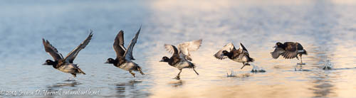 Lesser Scaup Take-Off