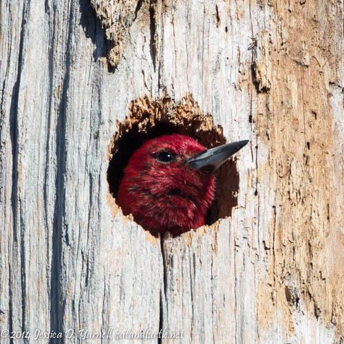 Peek-a-Boo!  Red-headed Woodpecker