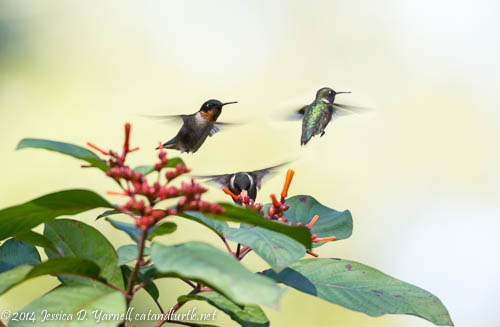 Ruby-Throated Hummingbird Composite