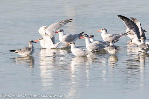 Caspian Terns and Laughing Gulls