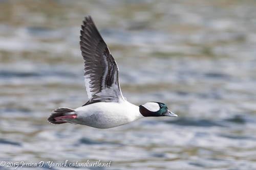 Male Bufflehead in Flight