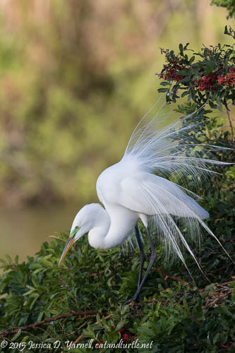 Great Egret Breeding Lace