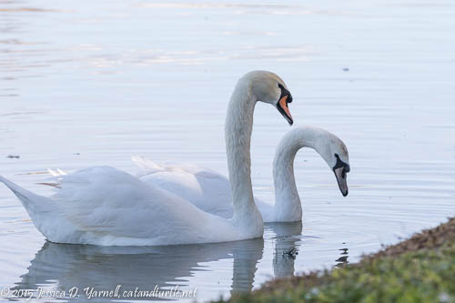 Swans Not Really Swooning