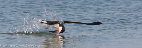 Black Skimmer Skimming