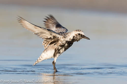 Black-bellied Plover Wing Flap