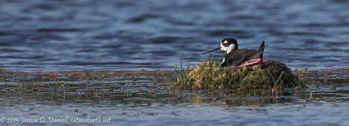 Black-necked Stilt Nest