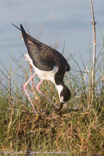 Black-necked Stilt Turning Eggs on Nest