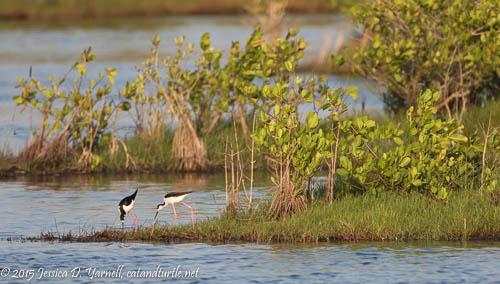 Black-necked Stilts Working on Nest