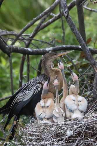Demanding Anhinga Chicks
