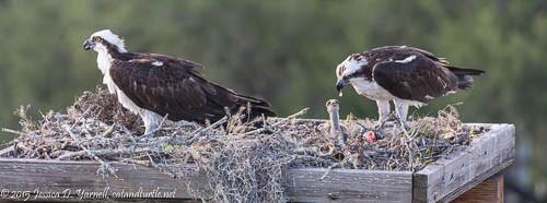 Osprey Family at Nest