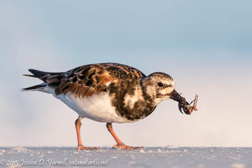 Ruddy Turnstone with Cockroach (?)