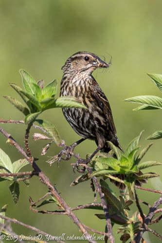 Female Red-Winged Blackbird Carrying Food to her Young