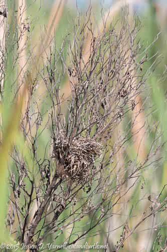 Boat-tailed Grackle Nest