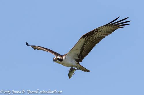 Osprey with Fish!