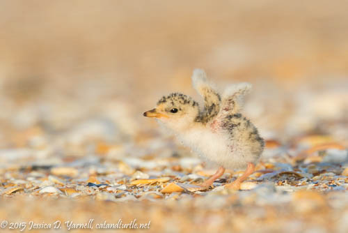 Stretch Your Wings!  Tiny Least Tern Chick