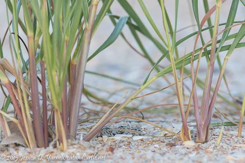 Wilson's Plover Nest
