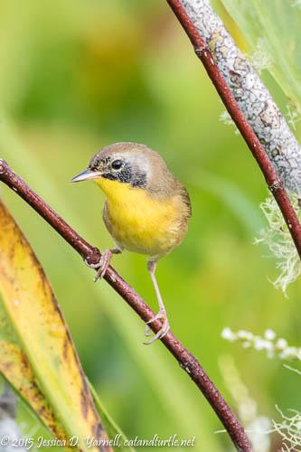 Juvenile Common Yellowthroat (a.k.a. Zorro!)