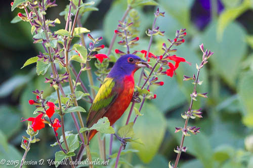 Male Painted Bunting on Coral Porterweed