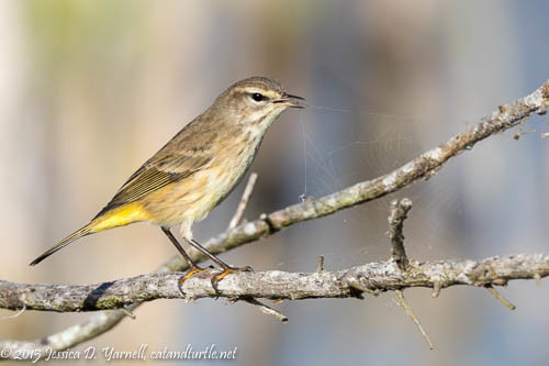Palm Warbler at Lake Apopka Wildlife Drive