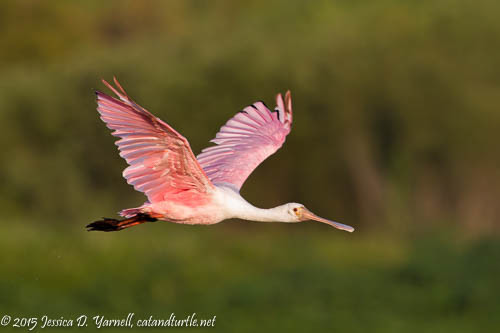 """""""Angel Wings"""" - Roseate Spoonbill in Flight"""