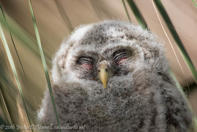 Barred Owl Head Shot