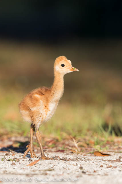 One Week Old! Sandhill Crane Colt