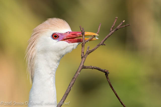 Cattle Egret with Nesting Material
